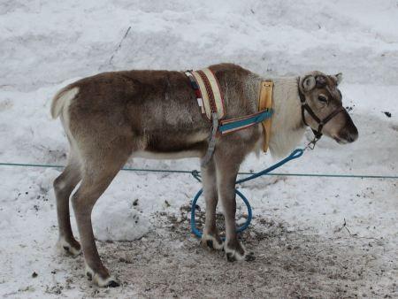 Free Reindeer with peeling shedding velvet on antlers