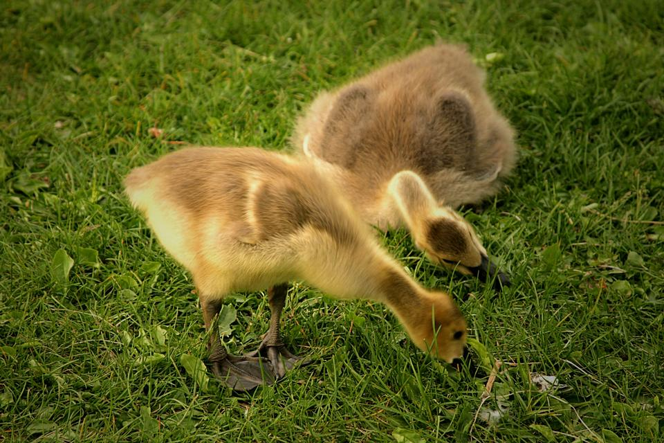 Free Canada goose gosling looking for food on the grass