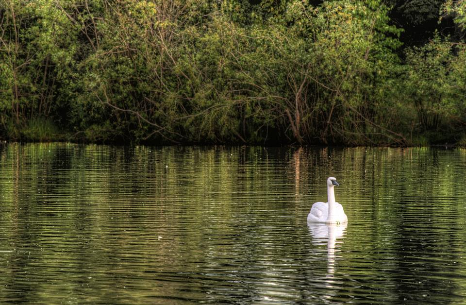 Free Courting white swan on the green lake water.