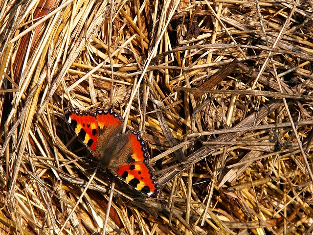 Free butterfly insect hay small tortoiseshell animal