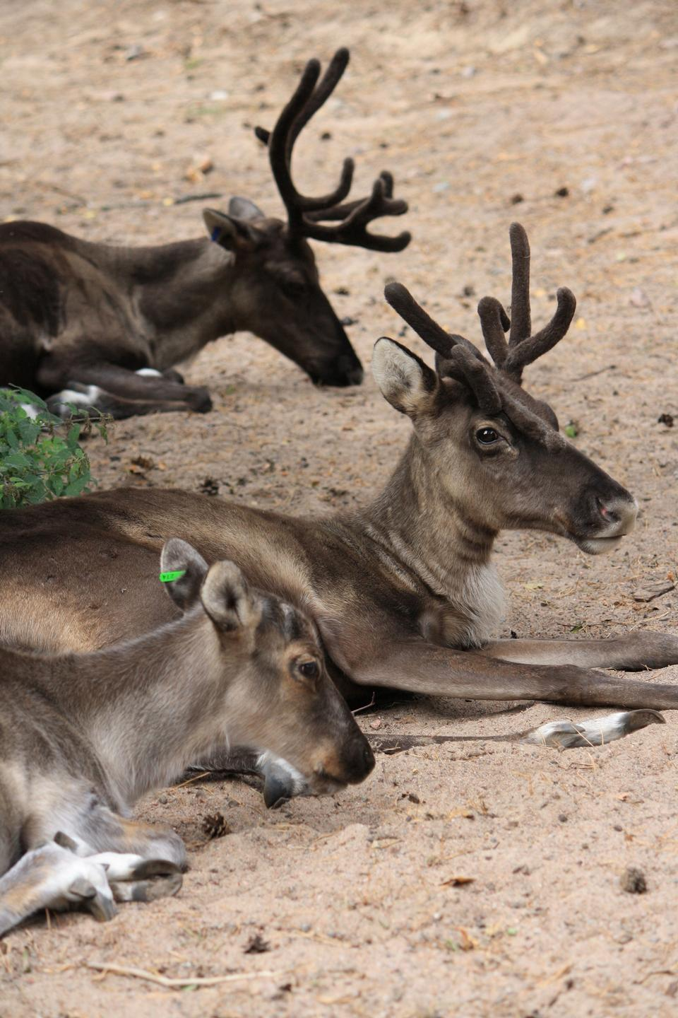Free Finnish Forest Reindeers