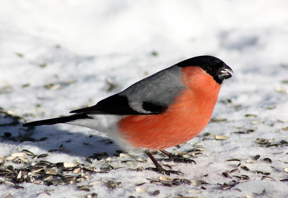 Free Bullfinch (Pyrrhula pyrrhula, Eurasian Bullfinch) in winter