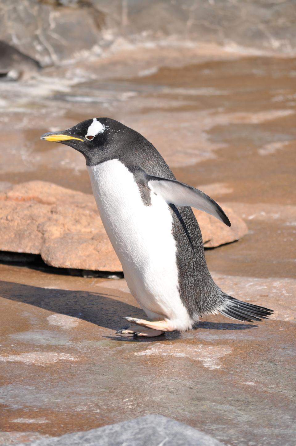 Free Gentoo Penguin (Pygoscelis papua)