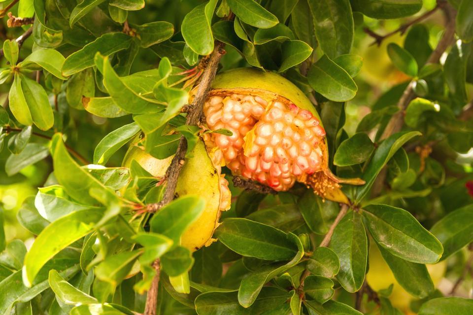 Free A ripe pomegranate on a tree - Punica granatum