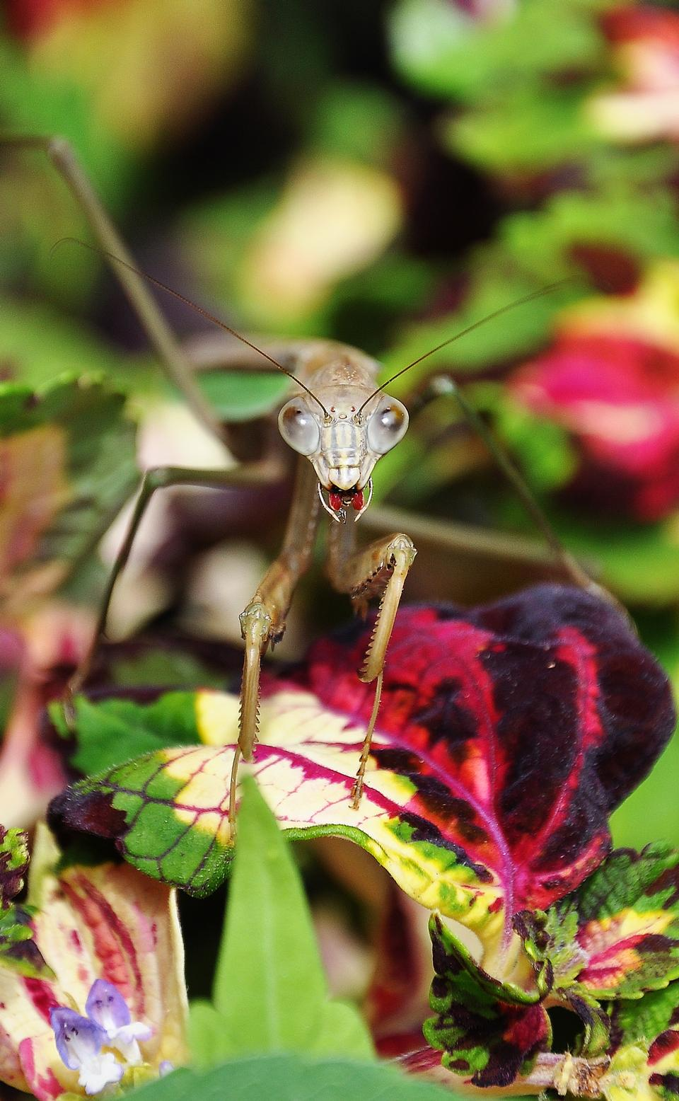 Free praying mantis staring back with leg in mouth.