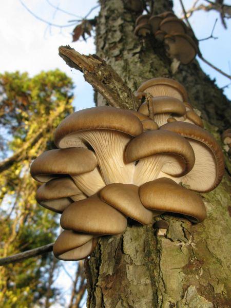 Free Oyster Mushroom (Pleurotus ostreatus)