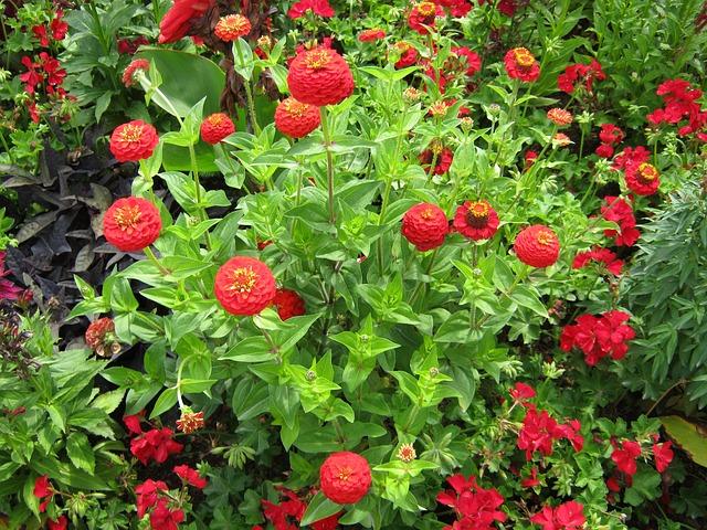 Free zinnia geranium flowers blütenmeer bed discounts