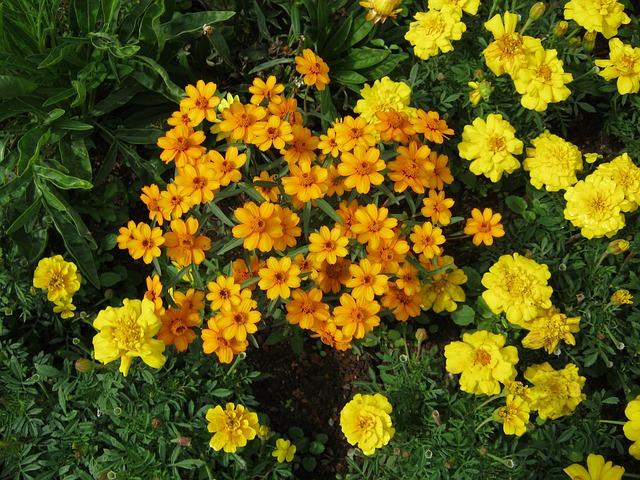 Free yellow flowers flowers blütenmeer bed discounts