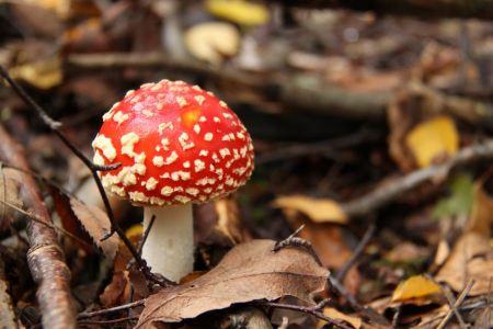 Free amanita muscaria poisonous mushroom