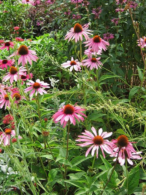 Free echinacea flowers blütenmeer bed discounts