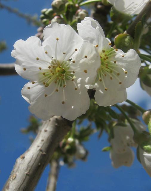 Free cherry blossoms white spring flower blossom bloom