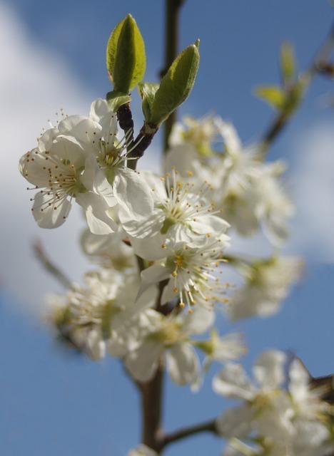Free plum plum blossom sky blue clouds sunny spring