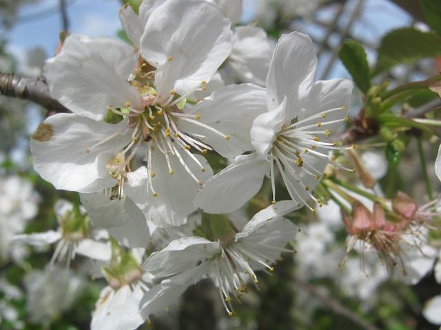 Free cherry blossom spring flower blossom bloom easter