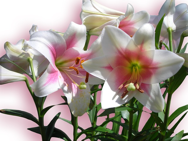 Free lilies flowers pink spring bloom background