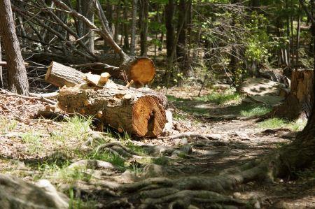 Free Chopped down pine tree