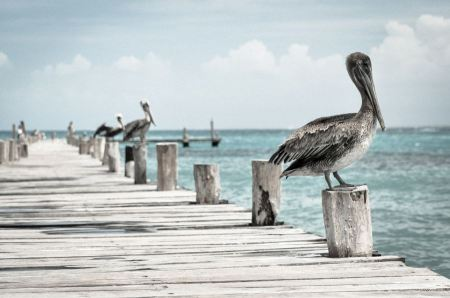 Free brown pelicans perches on a wooden piling at a harbor