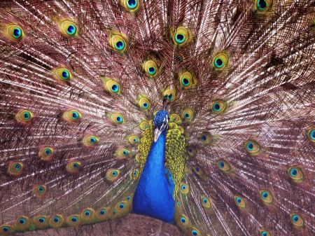 Free Male peacock, the Indian Peafowl