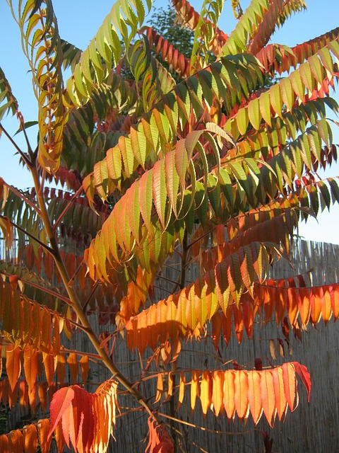 Free rhus autumn colorful decoration emerge