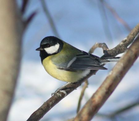 Free Great tit in springtime perched on willow catkins