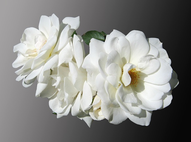 Free flowers roses white mourning noble free