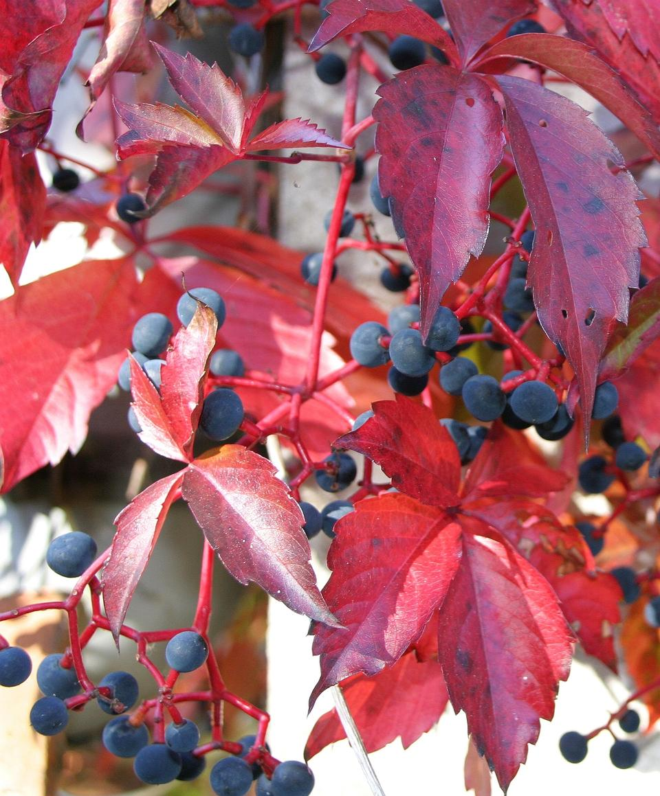 Free The branch with ripe berries of viburnum