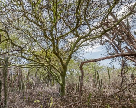 Free yellow Chimonanthus praecox tree