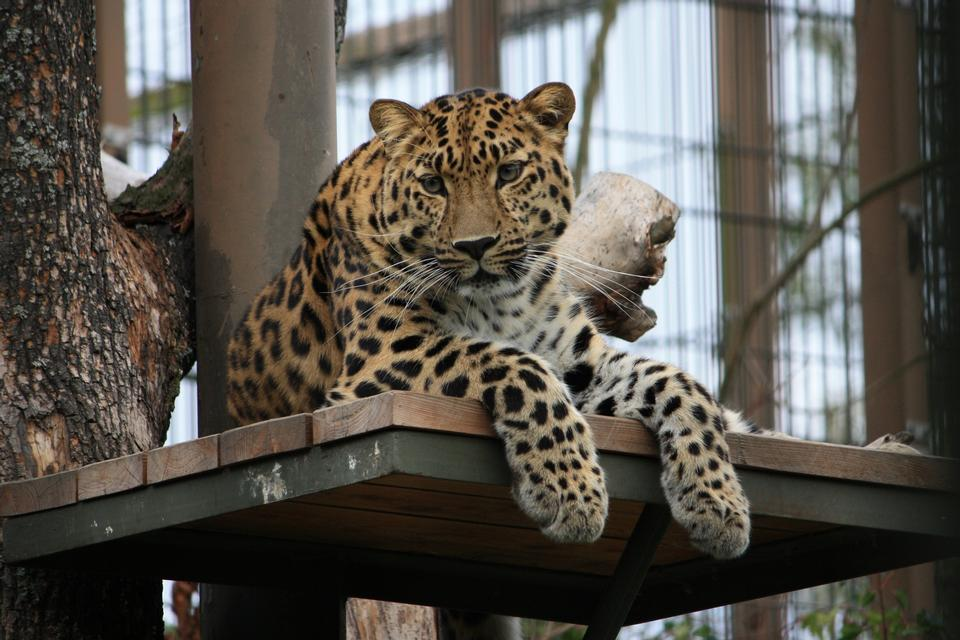 Free Male Leopard very alert