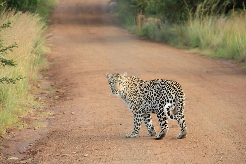 Free Photos: Male Leopard very alert | Jurassic