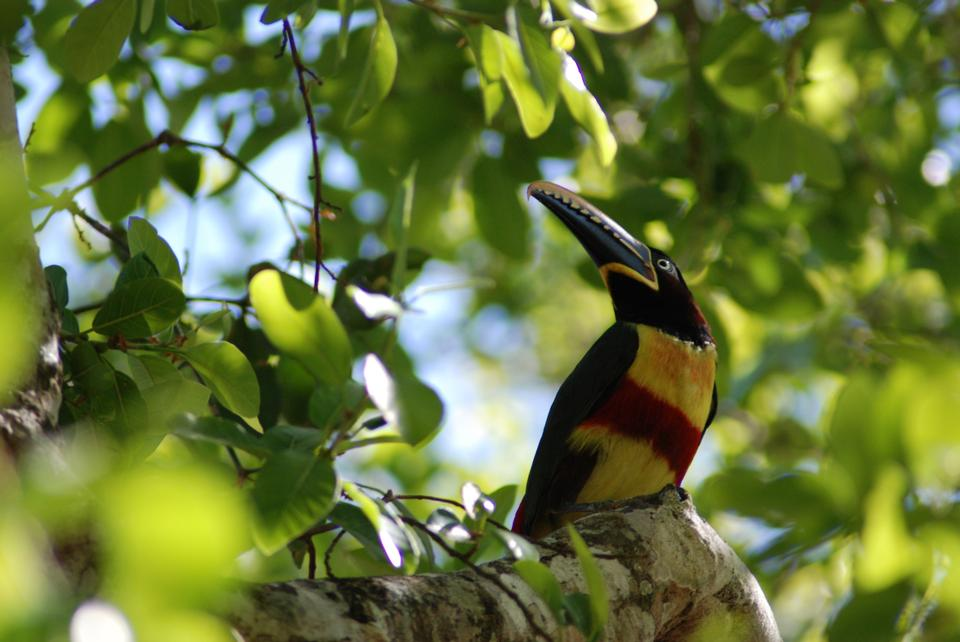 Free Aracari toucan perched on a branch in the rainforest of Belize