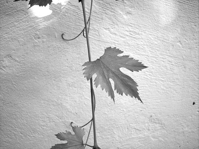 Free leaf screw wine plant creeper leaves
