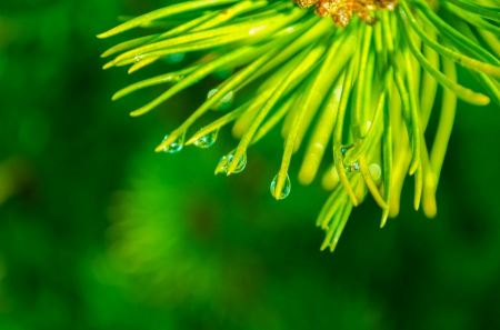 Free A branch of pine scrub needles with water droplets