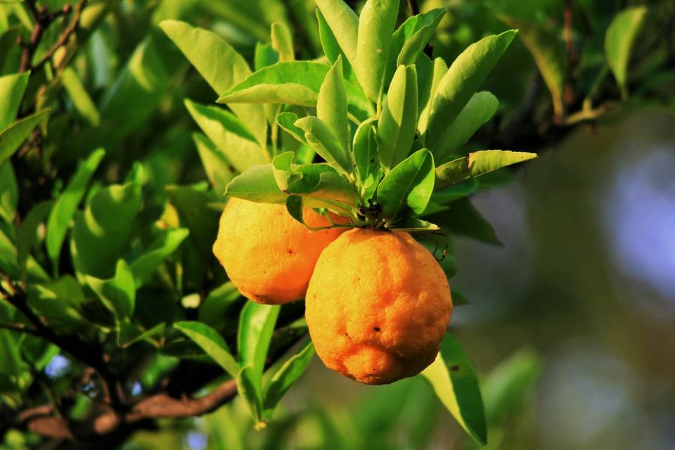 Free Two ripe lemons hanging on a tree