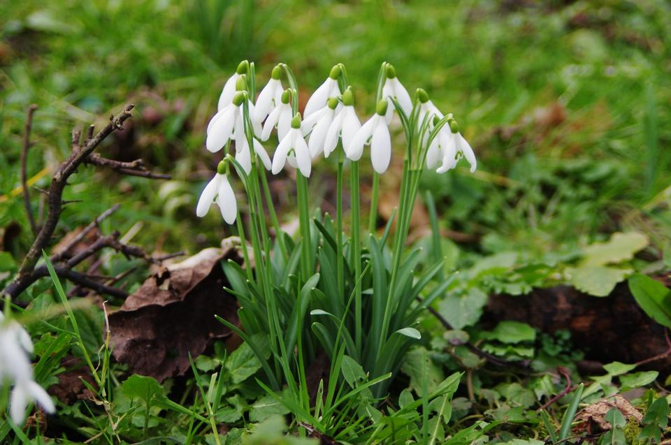 Free Snowdrop flowers - Galanthus nivalis