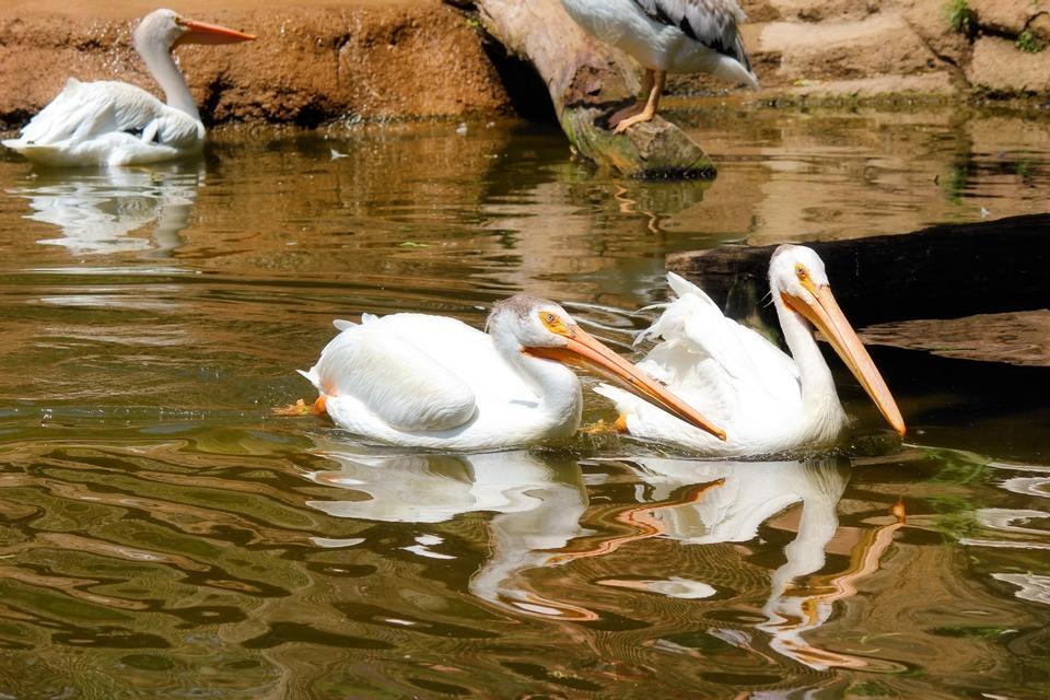 Free Australian Pelican on water