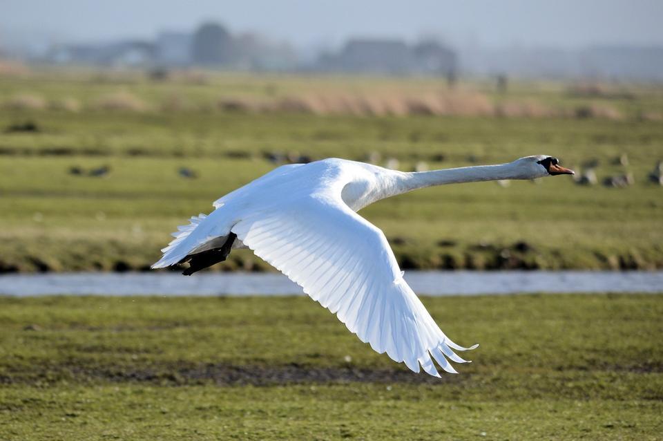 Free Trumpeter Swan Cygnus buccinator flying