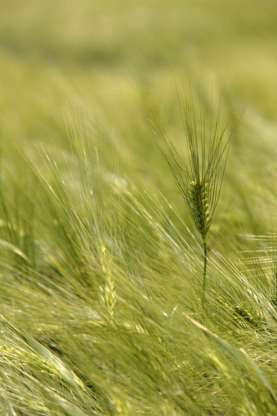 Free Barley Field