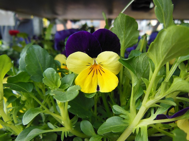 Free horned violet purple yellow spring