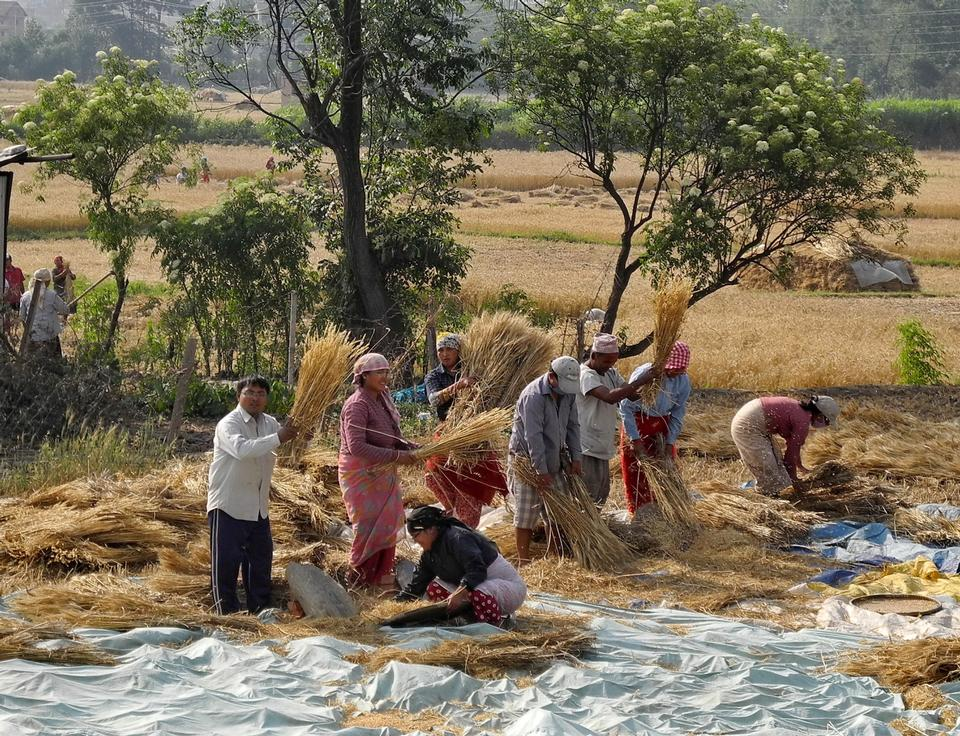 Free Nepalese people process cereals harvest during the main season