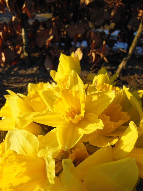 Free daffodils close-up harbingers of spring sunshine
