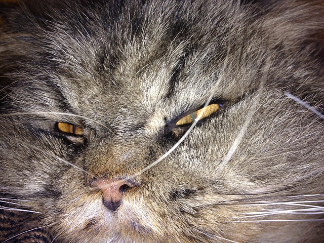 Free hangover cat animal pets lazy persians sleepy