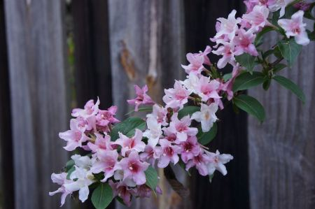 Free wooden fence background with white and pink flower
