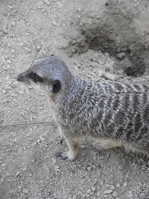 Free Photos: Meerkat wild zoo nature animals suricate animal | Carolyn White