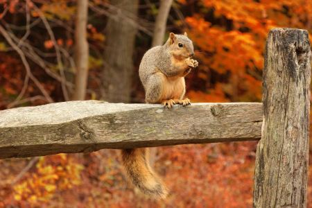 Free Squirrel, Autumn, acorn and dry leaves