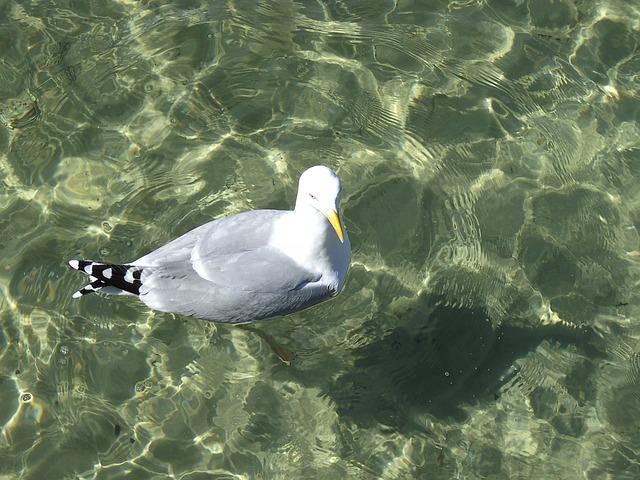 Free gull water nature