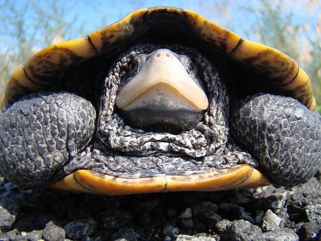 Free diamondback terrapin turtle macro close-up large