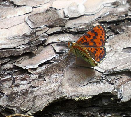 Free Melitaea Didyma butterfly