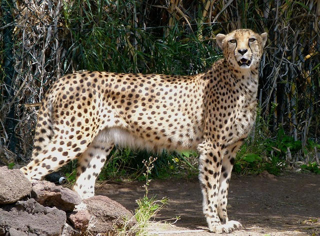 Free leopard animal feline spots beautiful wildlife