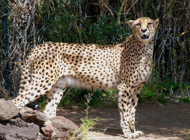 Free leopard animal feline spots beautiful wildlife