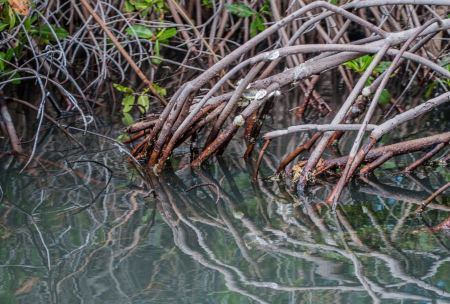 Free Mangrove incredible root system