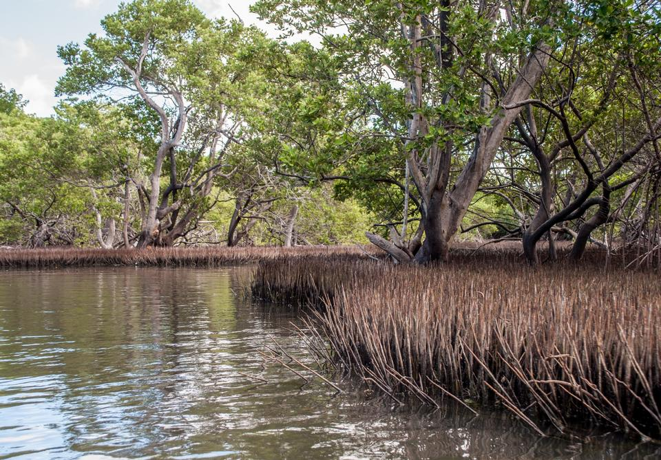 Free Mangroves in Green water at low tide